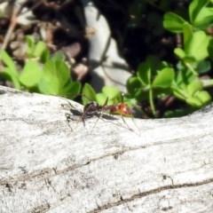 Iridomyrmex purpureus (Meat Ant) at Campbell Park Woodland - 12 Apr 2020 by RodDeb