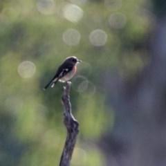 Petroica boodang (Scarlet Robin) at Majura, ACT - 12 Apr 2020 by RodDeb
