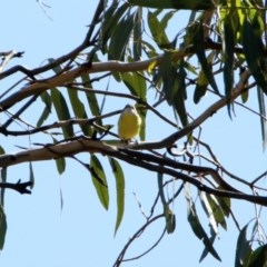 Gerygone olivacea (White-throated Gerygone) at Majura, ACT - 12 Apr 2020 by RodDeb