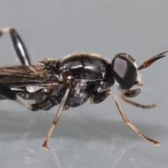 Exaireta spinigera (Garden Soldier Fly) at Evatt, ACT - 6 Apr 2020 by TimL