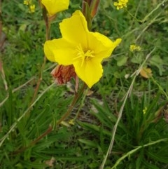 Oenothera stricta subsp. stricta (Common Evening Primrose) at Red Hill Nature Reserve - 13 Apr 2020 by SRoss