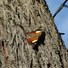 Vanessa itea (Yellow Admiral) at Mount Ainslie - 13 Apr 2020 by jbromilow50