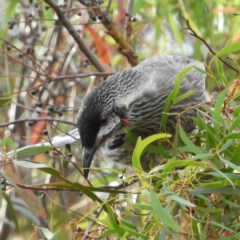 Anthochaera carunculata (Red Wattlebird) at Kambah, ACT - 30 Mar 2020 by MatthewFrawley