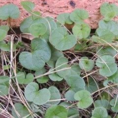 Dichondra repens (Kidney Weed) at Conder, ACT - 26 Mar 2020 by michaelb