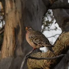 Phaps chalcoptera (Common Bronzewing) at Mount Ainslie - 13 Apr 2020 by jbromilow50