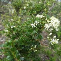 Bursaria spinosa (Native Blackthorn) at Mount Taylor - 6 Apr 2020 by MatthewFrawley