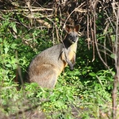 Wallabia bicolor (Swamp Wallaby) at Yatteyattah Nature Reserve - 13 Apr 2020 by CBrandis