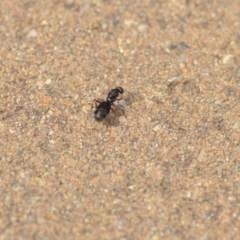 Iridomyrmex purpureus (Meat Ant) at Wamboin, NSW - 20 Jan 2020 by natureguy