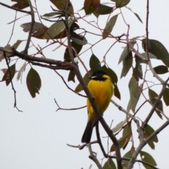 Pachycephala pectoralis (Golden Whistler) at Red Hill Nature Reserve - 14 Apr 2020 by Ct1000