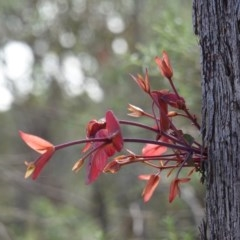 Eucalyptus dives (Broad-leaved Peppermint) at Red Hill Nature Reserve - 14 Apr 2020 by JackyF