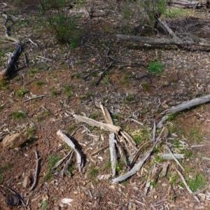 Calotis lappulacea at Red Hill Nature Reserve - 14 Apr 2020
