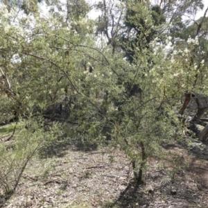 Bursaria spinosa at Red Hill Nature Reserve - 14 Apr 2020