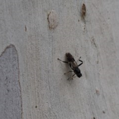Exaireta spinigera (Garden Soldier Fly) at Cook, ACT - 14 Apr 2020 by Tammy
