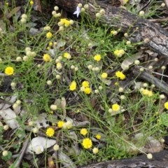 Calotis lappulacea (Yellow burr daisy) at Red Hill Nature Reserve - 14 Apr 2020 by JackyF