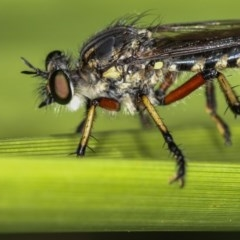 Thereutria amaraca (Spine-legged Robber Fly) at West Belconnen Pond - 30 Jan 2013 by Bron