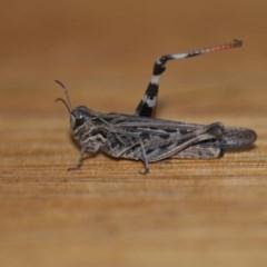 Austroicetes pusilla (Grasshopper, Locust) at Wamboin, NSW - 21 Jan 2020 by natureguy