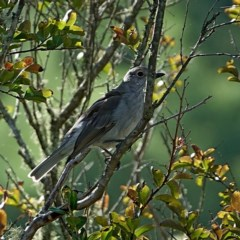 Colluricincla harmonica (Grey Shrike-thrush) at Brogo, NSW - 14 Apr 2020 by MaxCampbell