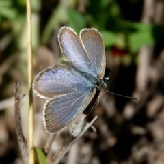 Zizina otis labradus (Common Grass Blue) at Brogo, NSW - 14 Apr 2020 by MaxCampbell