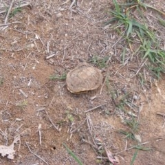 Chelodina longicollis (Eastern Long-neck Turtle) at Hume, ACT - 8 Apr 2020 by MichaelMulvaney