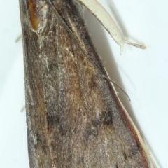 Uresiphita ornithopteralis at Kambah, ACT - 15 Apr 2020