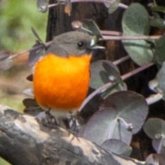 Petroica phoenicea (Flame Robin) at Bumbalong, NSW - 13 Apr 2020 by Adam at Bumbalong