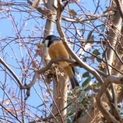 Pachycephala rufiventris (Rufous Whistler) at Bumbalong, NSW - 13 Apr 2020 by Adam at Bumbalong
