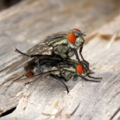 Sarcophagidae sp. (family) (Unidentified flesh fly) at Macarthur, ACT - 14 Apr 2020 by RodDeb