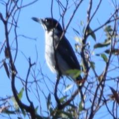 Cracticus torquatus (Grey Butcherbird) at Hume Paddocks - 15 Apr 2020 by rgmccau