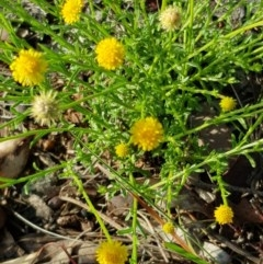 Calotis lappulacea (Yellow burr daisy) at Molonglo Gorge - 14 Apr 2020 by laura.williams