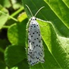 Utetheisa sp. (genus) (A tiger moth) at Rob Roy Range - 15 Apr 2020 by JohnBundock