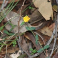 Hypericum gramineum (Small St Johns Wort) at Mongarlowe River - 15 Apr 2020 by LisaH