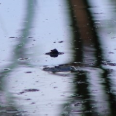 Chelodina longicollis (TBC) at Mongarlowe River - 15 Apr 2020 by LisaH