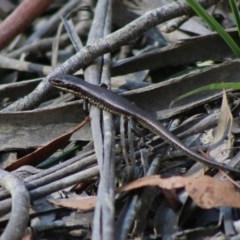 Eulamprus sp (genus) (A water skink) at Mongarlowe River - 15 Apr 2020 by LisaH