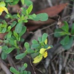 Hibbertia obtusifolia (Grey Guinea-flower) at Mongarlowe River - 15 Apr 2020 by LisaH