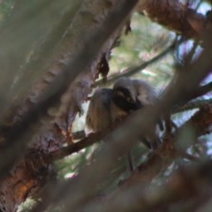 Melithreptus brevirostris (Brown-headed Honeyeater) at Mongarlowe River - 15 Apr 2020 by LisaH