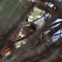Melithreptus brevirostris at suppressed - 15 Apr 2020