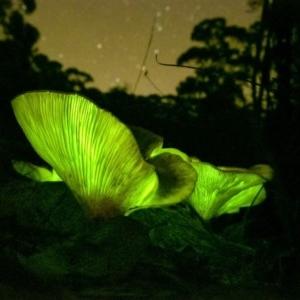 Omphalotus nidiformis at Penrose - 15 Apr 2020