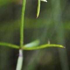 Opercularia varia (Variable Stinkweed) at South Pacific Heathland Reserve - 21 Dec 2014 by NicholasdeJong