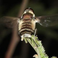 Villa sp. (genus) (Unidentified Villa bee fly) at Mount Ainslie - 2 Apr 2020 by jbromilow50