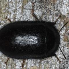 Pterohelaeus striatopunctatus (Darkling beetle) at Ainslie, ACT - 6 Apr 2020 by jbromilow50