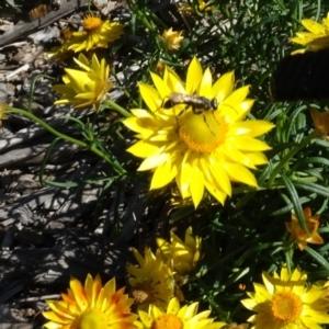 Isodontia sp. (genus) at Sth Tablelands Ecosystem Park - 15 Apr 2020