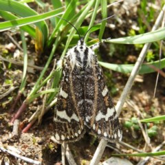 Apina callisto (Pasture Day Moth) at Mount Taylor - 14 Apr 2020 by MatthewFrawley