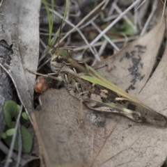 Oedaleus australis (Australian Oedaleus) at The Pinnacle - 7 Apr 2020 by AlisonMilton