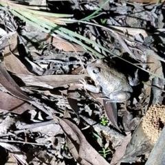 Limnodynastes dumerilii (Eastern Banjo Frog) at Penrose - 14 Apr 2020 by Aussiegall
