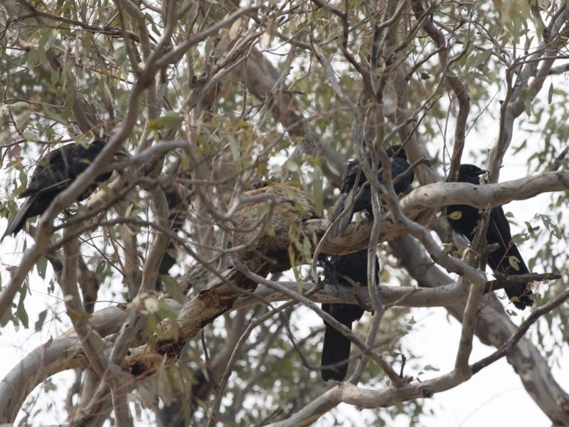 Corcorax melanorhamphos at Michelago, NSW - 14 Jan 2020