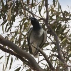 Coracina novaehollandiae (Black-faced Cuckooshrike) at Michelago, NSW - 19 Dec 2019 by Illilanga