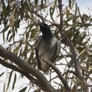 Coracina novaehollandiae at Michelago, NSW - 19 Dec 2019