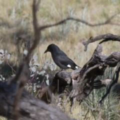 Strepera graculina (Pied Currawong) at Illilanga & Baroona - 24 Sep 2012 by Illilanga