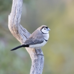 Taeniopygia bichenovii at Michelago, NSW - 28 Jul 2019