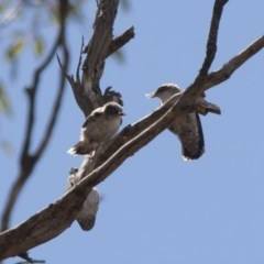 Daphoenositta chrysoptera (Varied Sittella) at Illilanga & Baroona - 22 Jan 2012 by Illilanga